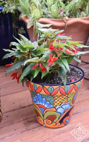 Begonia boliviensis, but I don't the cultivar, in a Talavera pottery container.
